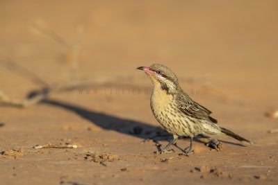 Spiny-cheeked Honeyeater (Acanthagenys rufogularis).1