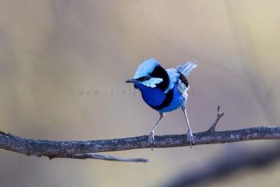 Splendid Fairy-wren - Male (Malurus splendens musgravi).1
