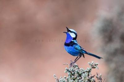Splendid Fairy-wren - Male singing