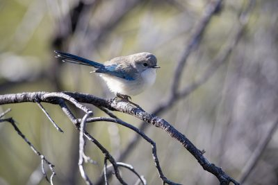 Splendid Fairy-wren (Malurus splendens musgravi) - (Eclipse Plumage) - Neutral Junction, NT