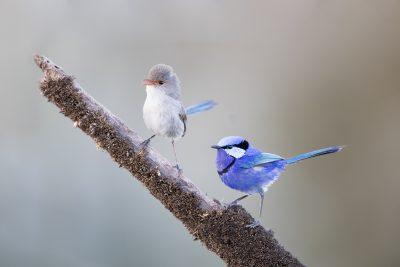 Splendid Fairywren - Male & Female (Malurus splendens splendens)