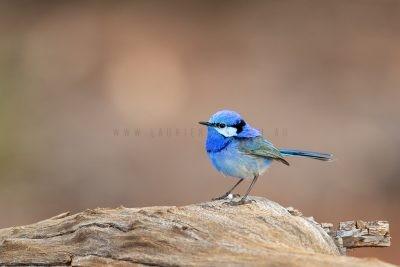 Splendid Fairywren - Male (Malurus splendens melanotus).2