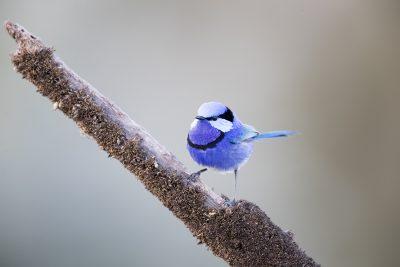 Splendid Fairywren - Male (Malurus splendens splendens)