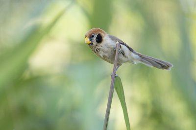 Spot-breasted Parrotbill (Paradoxornis guttaticollis)1