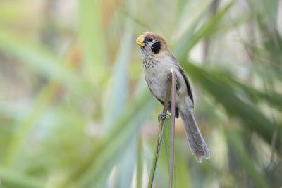 Spot-breasted Parrotbill (Paradoxornis guttaticollis)2.