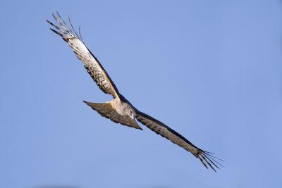 Square-tailed Kite - In Flight (Lophoictinia isura)1