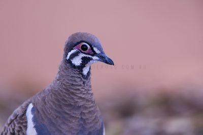 Squatter Pigeon - Portrait