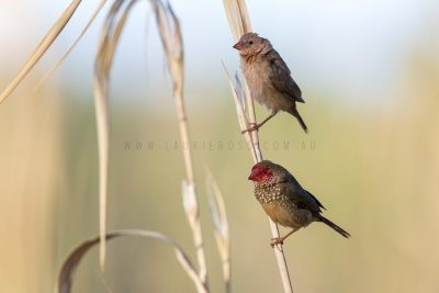 Star Finch - Adult and Juvenile (Neochmia ruficauda subclarescens)