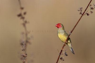 Star Finch - Male (Neochmia ruficauda subclarescens)3