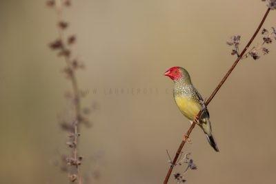 Star Finch - Male (Neochmia ruficauda subclarescens)5