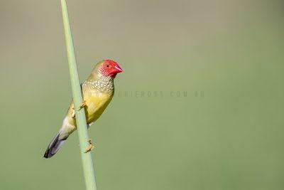 Star Finch - Male.1