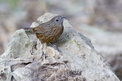 Streaked Wren-babbler (Turdinus brevicaudatus)