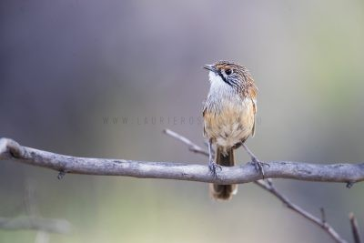 Striated Grasswren - Male (A.s.striatus)