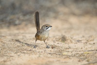 Striated Grasswren - Female (Amytornis striatus striatus)