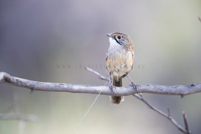 Striated Grasswren - Male (A.s.striatus)1