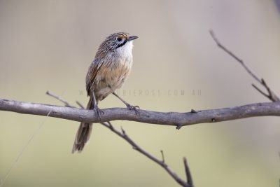 Striated Grasswren - Male (A.s.striatus)3