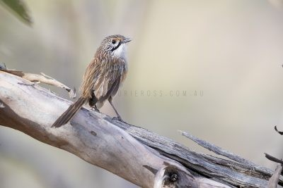 Striated Grasswren - Male (A.s.striatus)4