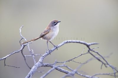 Sandhill Grasswren - Male singing on the ground (A.m.oweni).