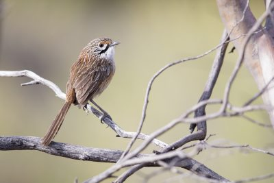 Striated Grasswren - Male (Amytornis striatus striatus)