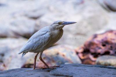 Striated Heron (Leucistic)