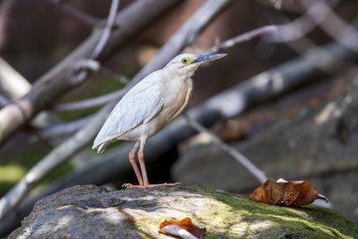 Striated Heron (Leucistic).2