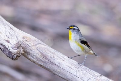 Striated Pardalote - Male