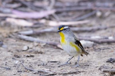 Striated Pardalote - Male on ground