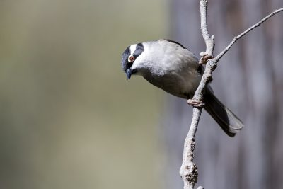 Strong-billed Honeyeater (Melithreptus validirostris)