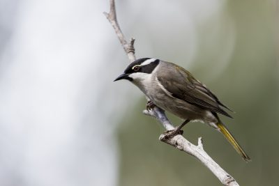 Strong-billed Honeyeater (Melithreptus validirostris).