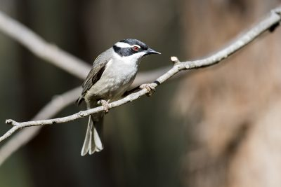 Strong-billed Honeyeater (Melithreptus validirostris)1