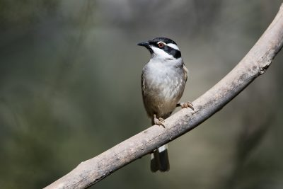 Strong-billed Honeyeater (Melithreptus validirostris)2