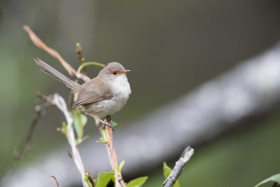 Superb Fairy-wren - Female (Malurus Cyaneus Cyanochlamys) - Royal National Park, NSW