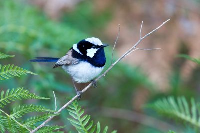Superb Fairy-wren Malurus cyaneus cyanochlamys) - Bunya Mountains NP