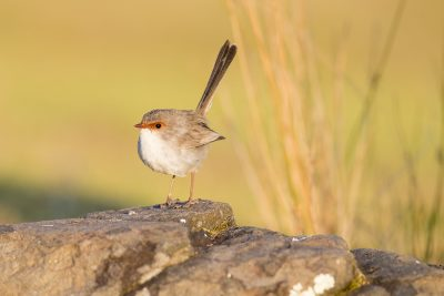 Superb Fairywren - Female (Malurus cyaneus)