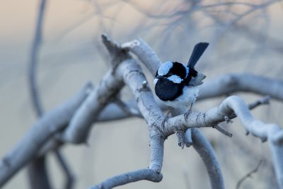Superb Fairywren - Male (Malurus cyaneus)