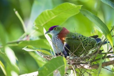 Superb Fruit-dove - Male on Nest (Ptilinopus superbus superbus)
