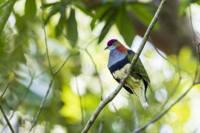 Superb Fruit-dove - Male (Ptilinopus superbus superbus)