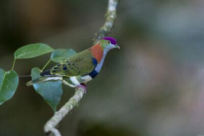 Superb Fruit-dove - Male1