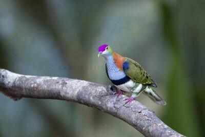 Superb Fruit-dove - Male2
