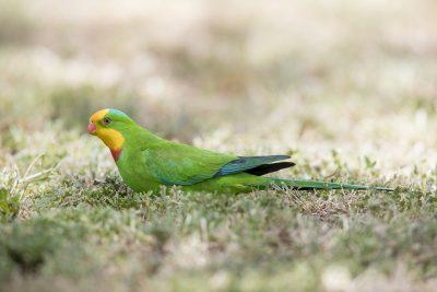 Superb Parrot (Polytelis swainsonii)