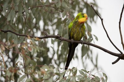 Superb Parrot - Male (Polytelis Swainsonii) - Orange, NSW