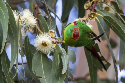 Swift Parrot (Lathamus discolor).1