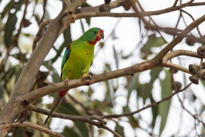 Swift Parrot (Lathamus discolor).3