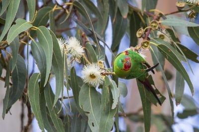 Swift Parrot (Lathamus discolor).5