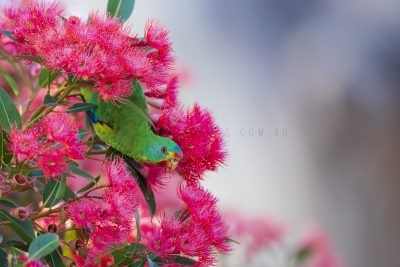 Swift Parrot (Lathamus discolor).7