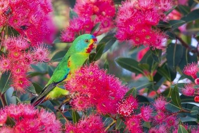 Swift Parrot (Lathamus discolor).8