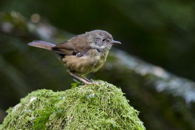 Tasmanian Scrubwren (Sericornis humilis)1