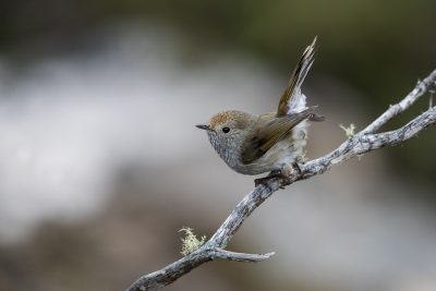 Tasmanian Thornbill (Acanthiza ewingii)