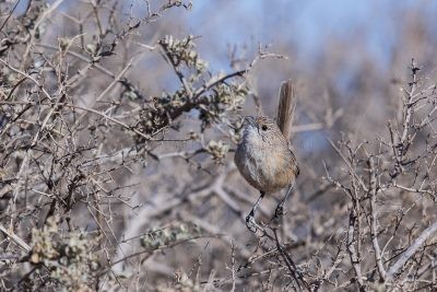 Thick-billed Grasswren | A.m.cowarie
