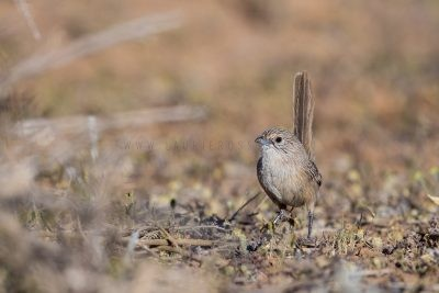 Thick-billed Grasswren | A.m.cowarie.